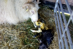 Ewe (64) with two newly born lambs
