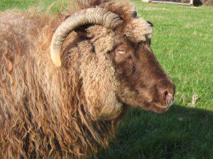 Brown Ewe