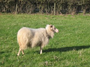 White Ewe
